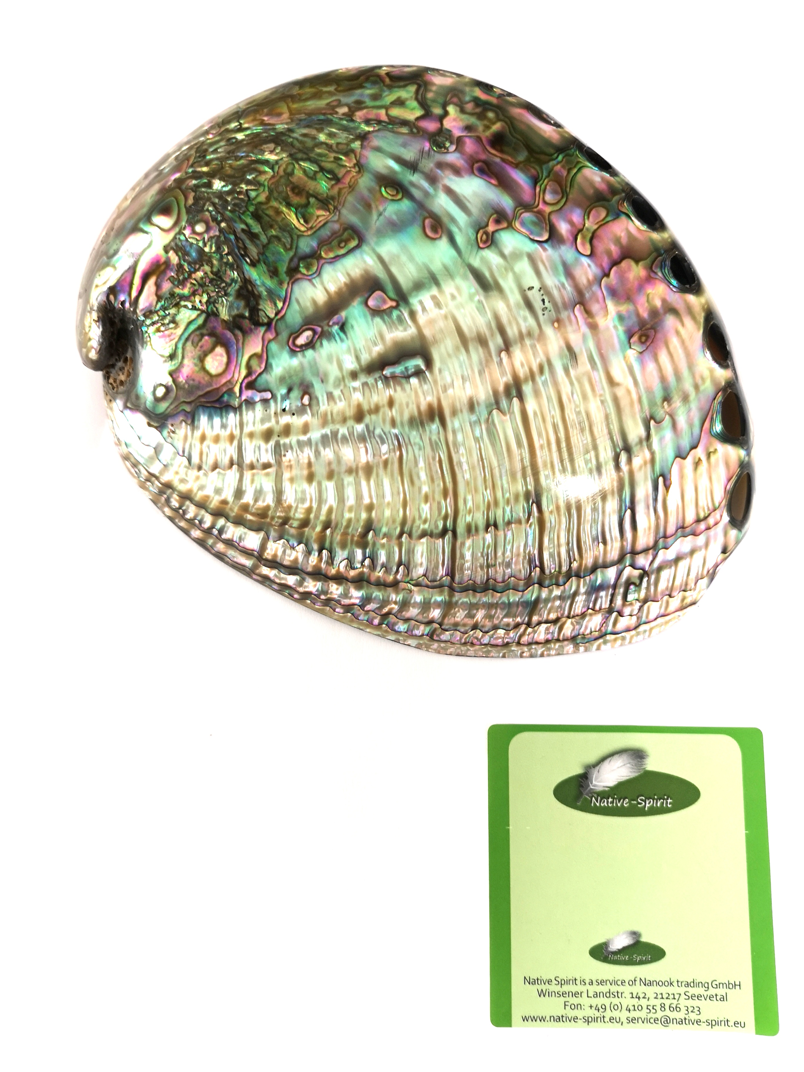 Abalone-Schale, auch außen poliert, 15-18 cm, Beautifull polished Abalone Shells (6-7 Inch, also out